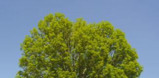 ask træ